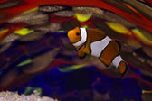 Clownfish against colored glass — Stock Photo