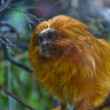 golden lion tamarin — Stock Photo #19774987