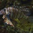 Lionfish — Stock Photo #19779637