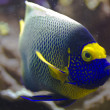 Blueface angelfish — Stock Photo #19779649
