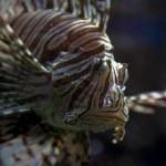 Lionfish — Stock Photo #19779663