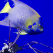 Blueface angelfish — Stock Photo #19779681