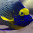 Stock Photo: Blueface angelfish