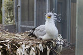 Secretary Bird — Stock Photo