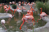 Pink and white flamingos at pond. — Stock Photo