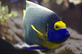 Blueface angelfish — Stock Photo