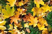 The carpet of autumn maple leaves — Stock Photo