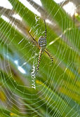 Cobweb spider — Stock Photo