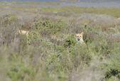 Wild fox — Stock Photo