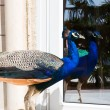 Peacock looks in the mirror. — Stock Photo