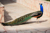 Male Peacock on Displaying Feathers — Stock Photo