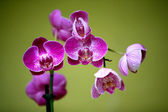 Orchids on green backgrownd of Utopia Park. — Stock Photo