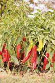 Cultivo de pimientos — Foto de Stock