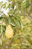 Abeja en pera en huerto — Foto de Stock