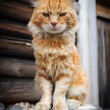Red serious cat — Stock Photo