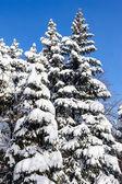 积雪覆盖的杉木树 — 图库照片