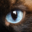 One siamese cat eye macro closeup — Stock Photo
