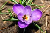 Honey bee at violet crocus flower — Stock Photo