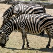 Two zebra - Stock Photo