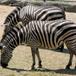 Stock Photo: Two zebra