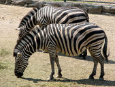 Two zebra — Stock Photo