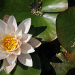 Water lilly — Foto Stock #27785449