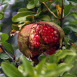 Cracked pomegranate — Stock Photo
