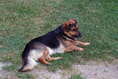 Guard dog — Stockfoto