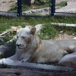White Lions — Stock Photo