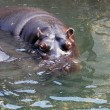 Hippo — Stock Photo #31913375