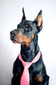 Doberman wearing pink tie — Stock fotografie
