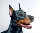Doberman pinscher — Foto de Stock