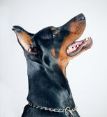 Doberman Pinscher — Stockfoto