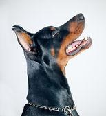 Doberman pinscher — Stockfoto