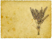 Dry lavender on old paper background — Stock Photo