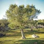 Olive tree — Stock Photo #14311573