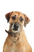 Mixed-breed dog — Stock Photo