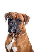 Boxer dog portrait — Stock Photo