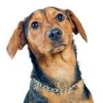 Mixed breed dog portrait — Stock Photo