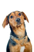 Mixed breed dog portrait — Stockfoto