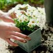Planting flower — Stock Photo