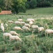 Flock of sheep — Stock Photo #35582021