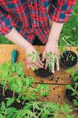 Tomato seedling — Stock Photo