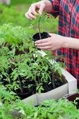 Woman holding tomato seedling — Stock Photo