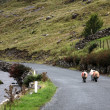 Stock Photo: three sheeps walking on an empty road in connemara