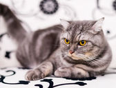 Brown-eyed cat — Stock Photo