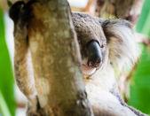 Urso coala — Fotografia Stock