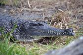 Fresh water crocodile — Stock Photo