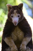 Tree kangaroo — Stock Photo
