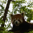 Red panda — Stock Photo #14438139
